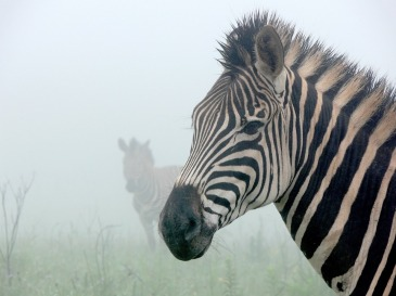 zebra-164475_960_720